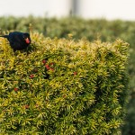 Black Bird on a Yew Tree
