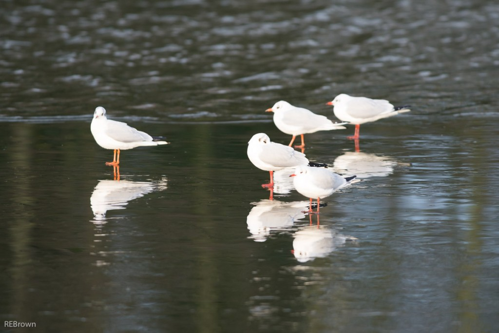 Black Headed Gulls-2