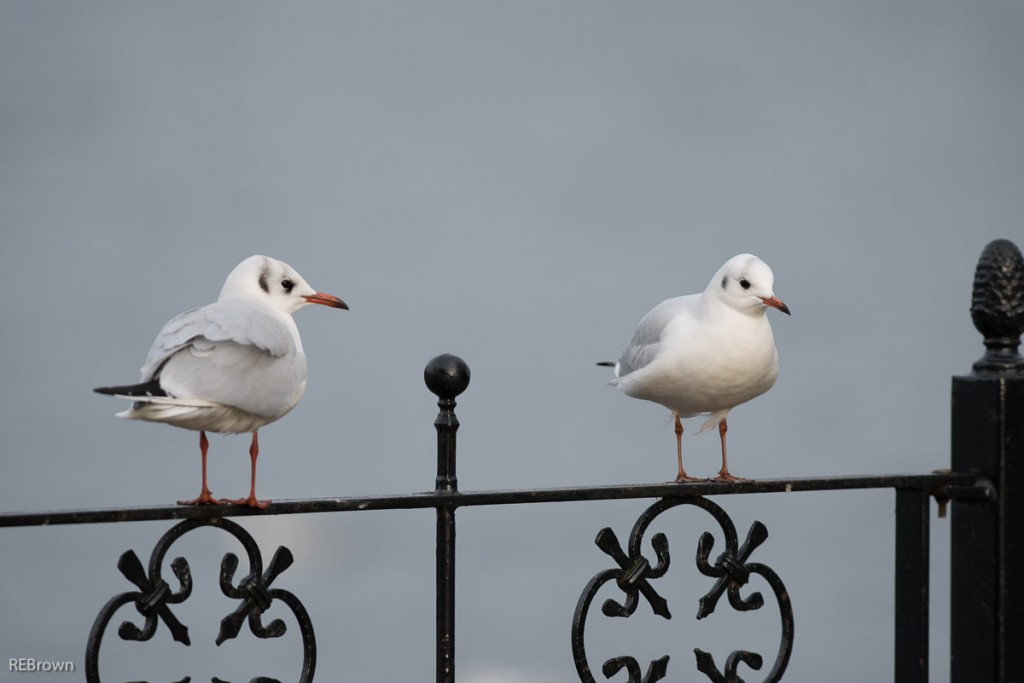 Black Headed Gulls-9