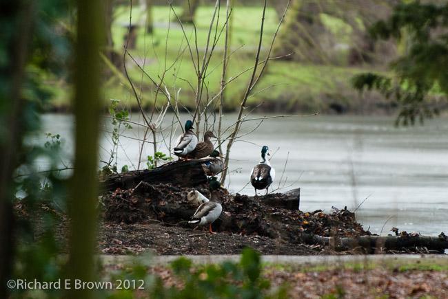 Ducks on the Mound