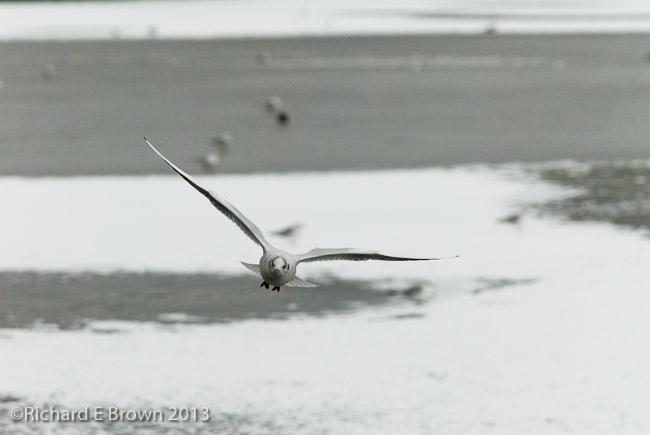 Gull in Flight - 2