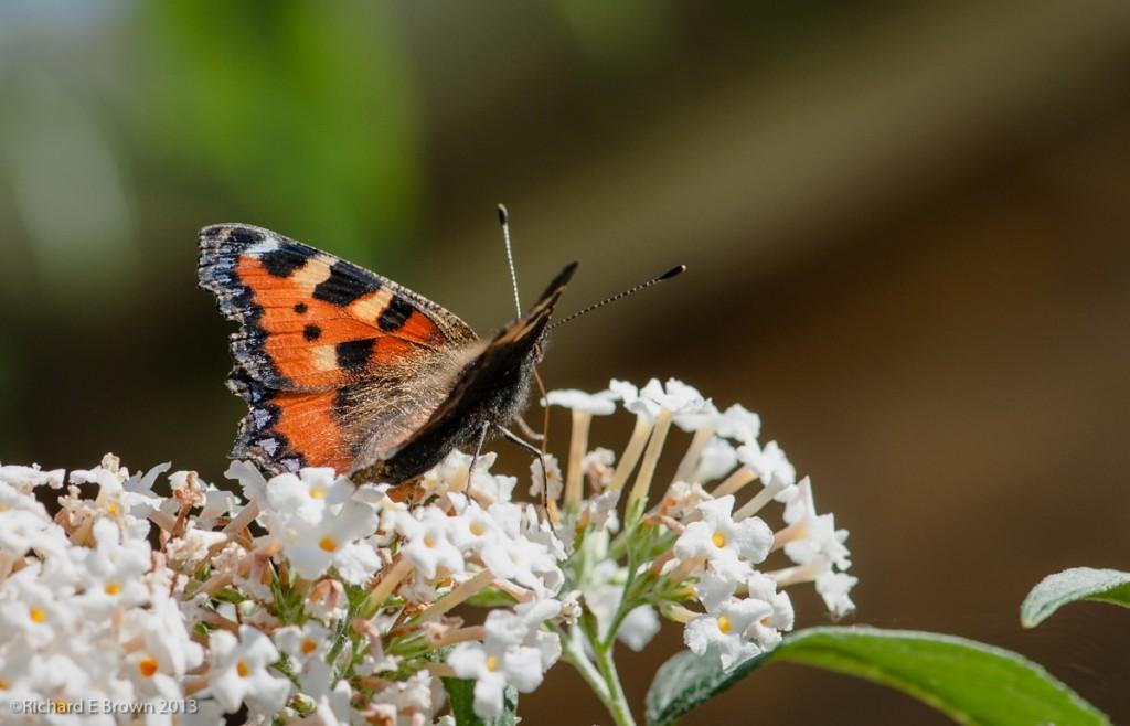 Butterfly in Macro