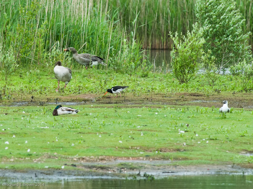 Whisby_Nature_Reserve-7