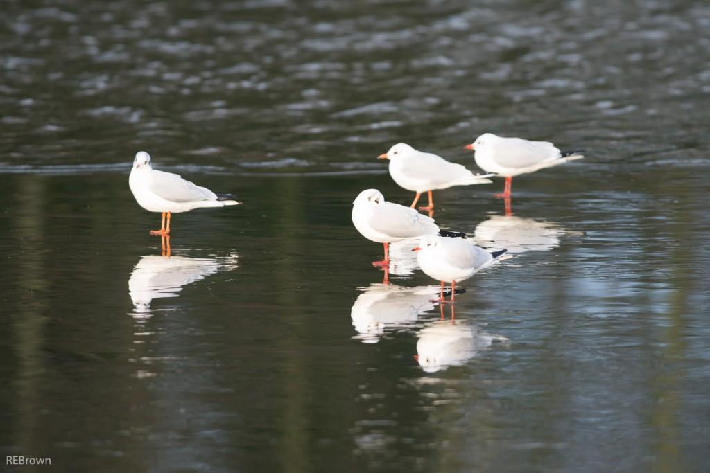 Black Headed Gulls-2