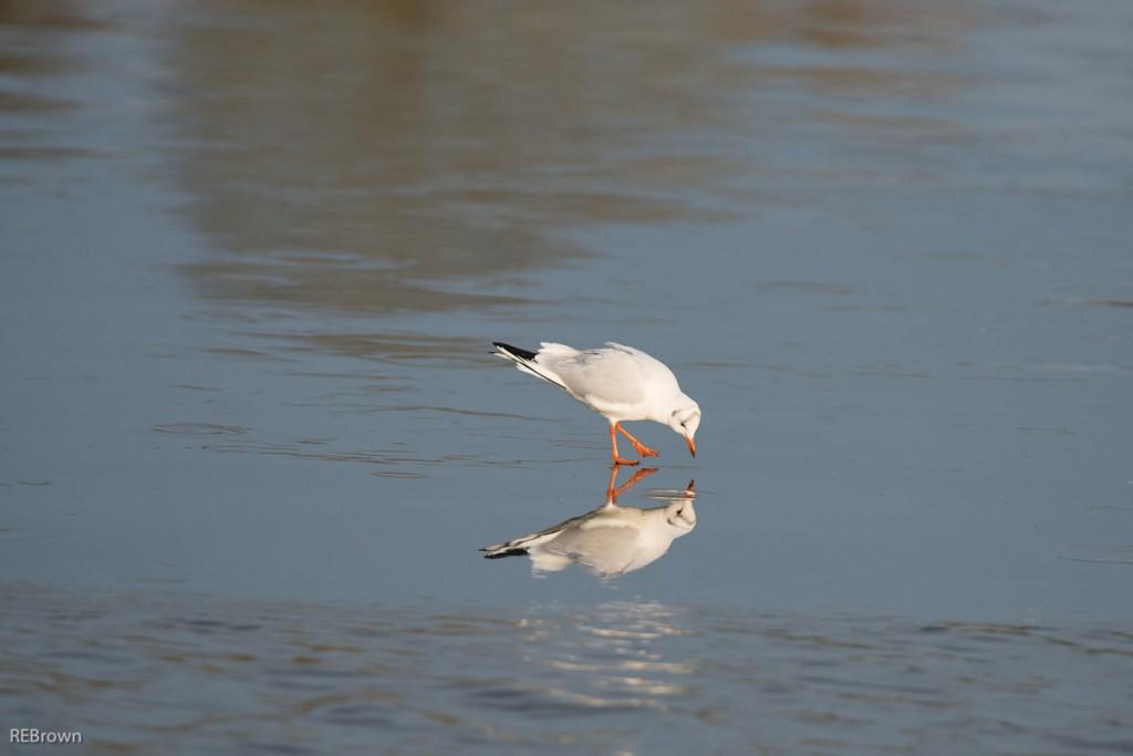 Black Headed Gulls-6