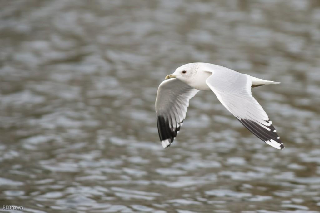 Black Headed Gulls-8