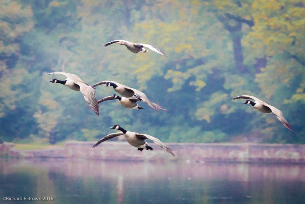 geese-in-autumn-flight